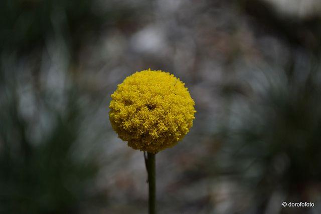 Pycnosorus globosus billy buttons yellow flowers sydney ball of tiny yellow flowers by dorofofoto via flickr mightylinksfo