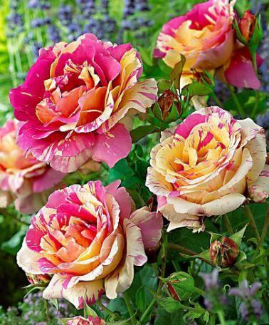 Rosier grandes fleurs 39 candy stripe 39 roses jardinage for Bakker fleurs