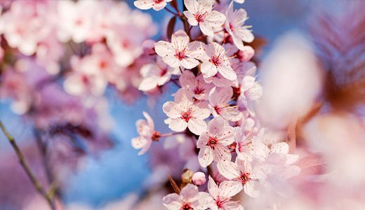50 Lovely Cherry Blossom Wallpapers To Brighten Your Desktop Naldz Graphics Cherry Blossom Wallpaper Japanese Cherry Blossom Blossom Flower