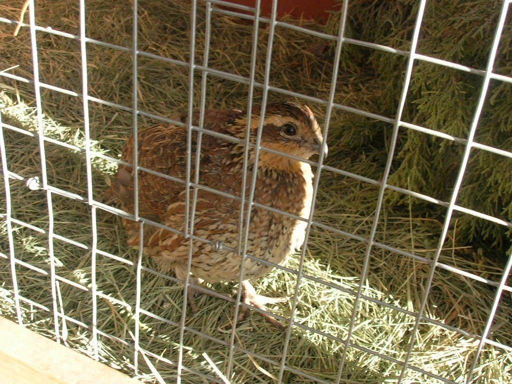 Housing And Feeding Your Quail | Quail, Raising quail ...