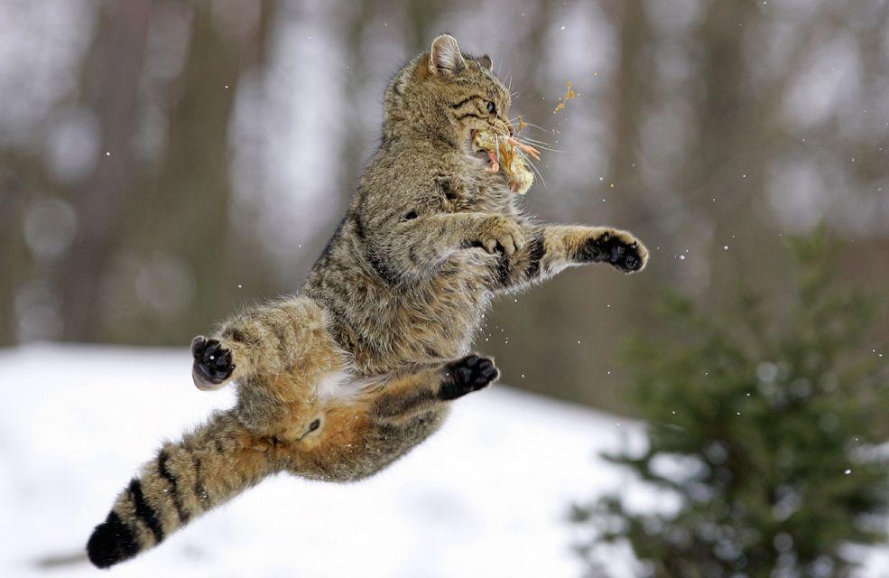 Résultats de recherche d'images pour «wild cat»