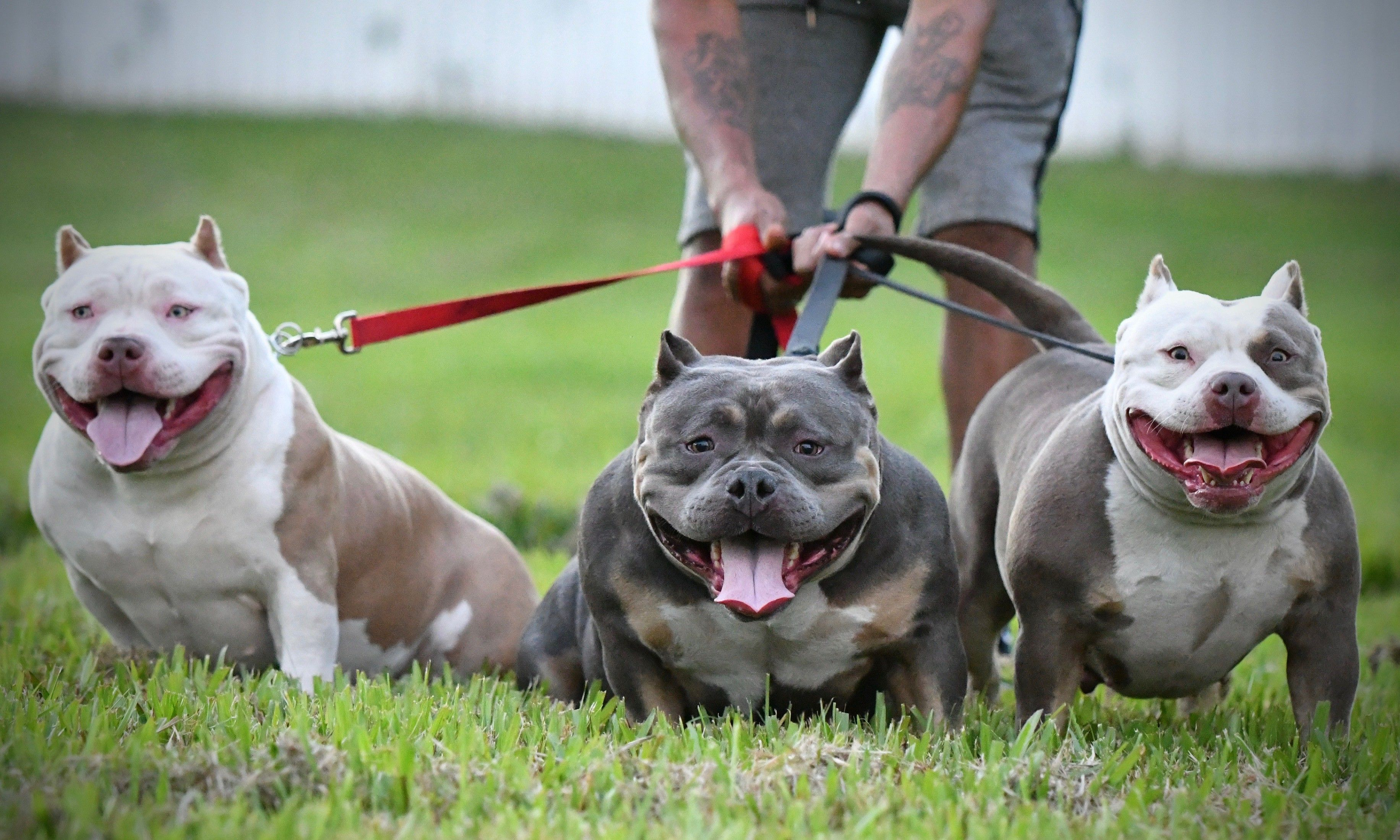 Pin On American Bully Females