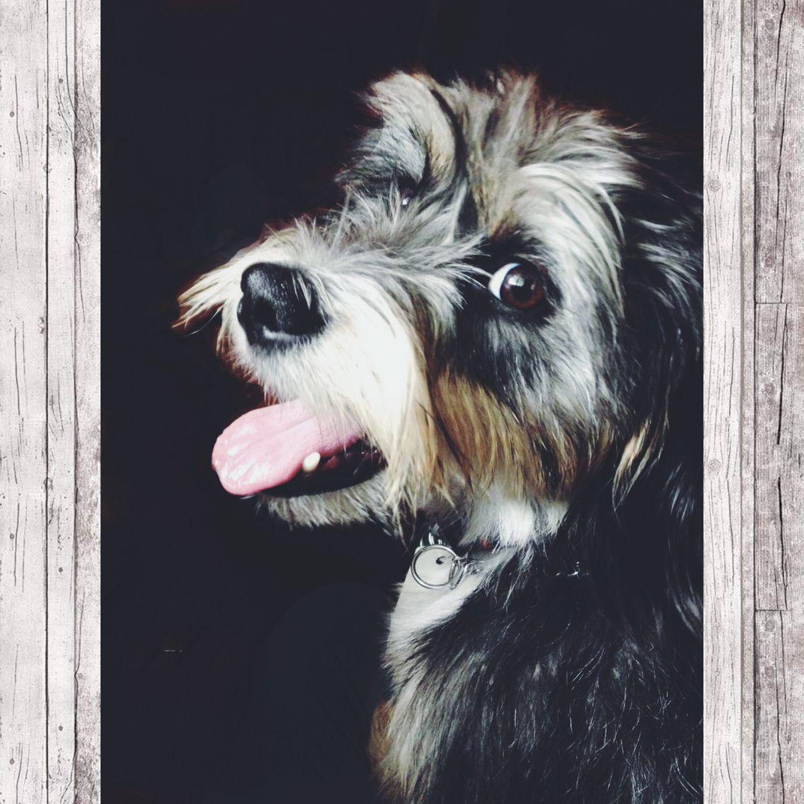 Howie Schnauzer Terrier Beagle Mix Unique Dog Breeds Beagle Mix
