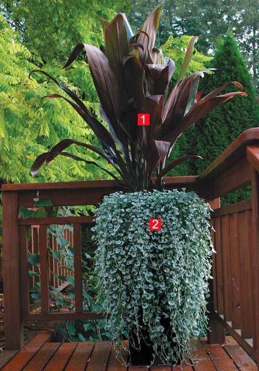 1 u0027Black Magicu0027 ti tree (Cordyline fruticosa u0027Black Magicu0027, USDA