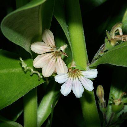 Scaevola sericea - Beach Naupaka, Naupaka Kahakai, Half-flower