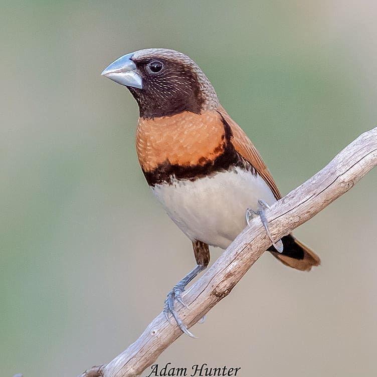 Chestnut Breasted Mannikin Birds Of Australia Bird Photo Wild Birds