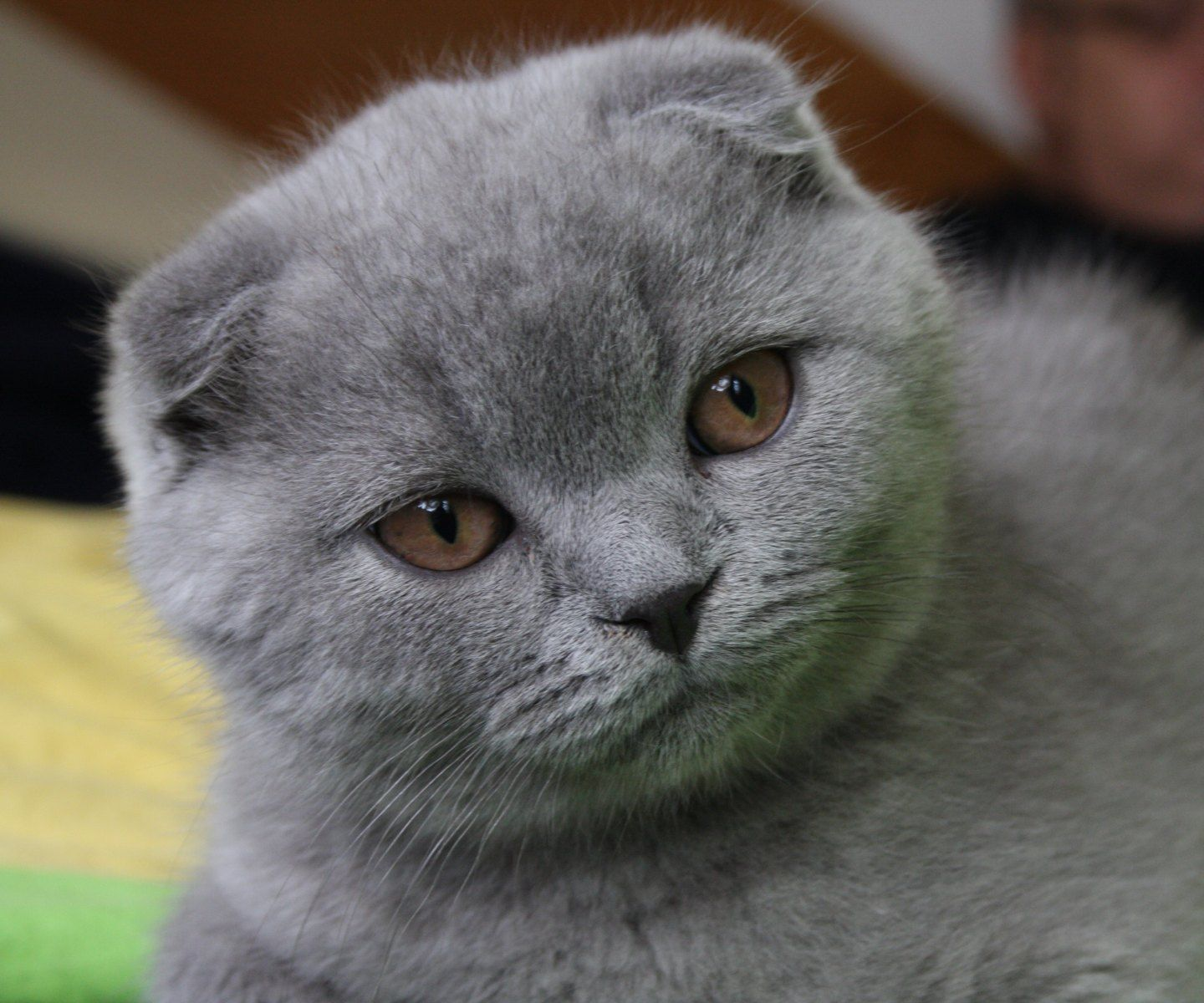 Scottish Fold SO CUTE Kittehs I Want Pinterest So Cute
