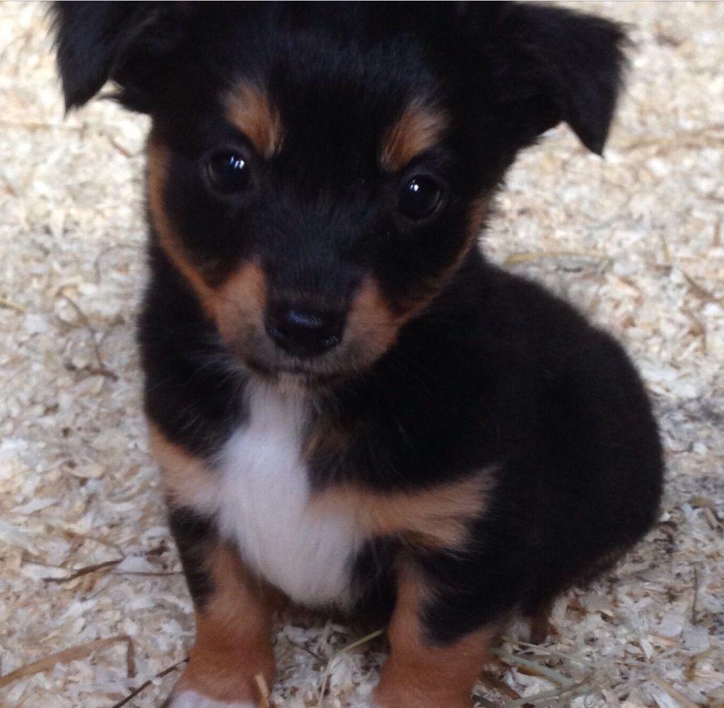 Jackahuahua Cute Animals Dogs Animals