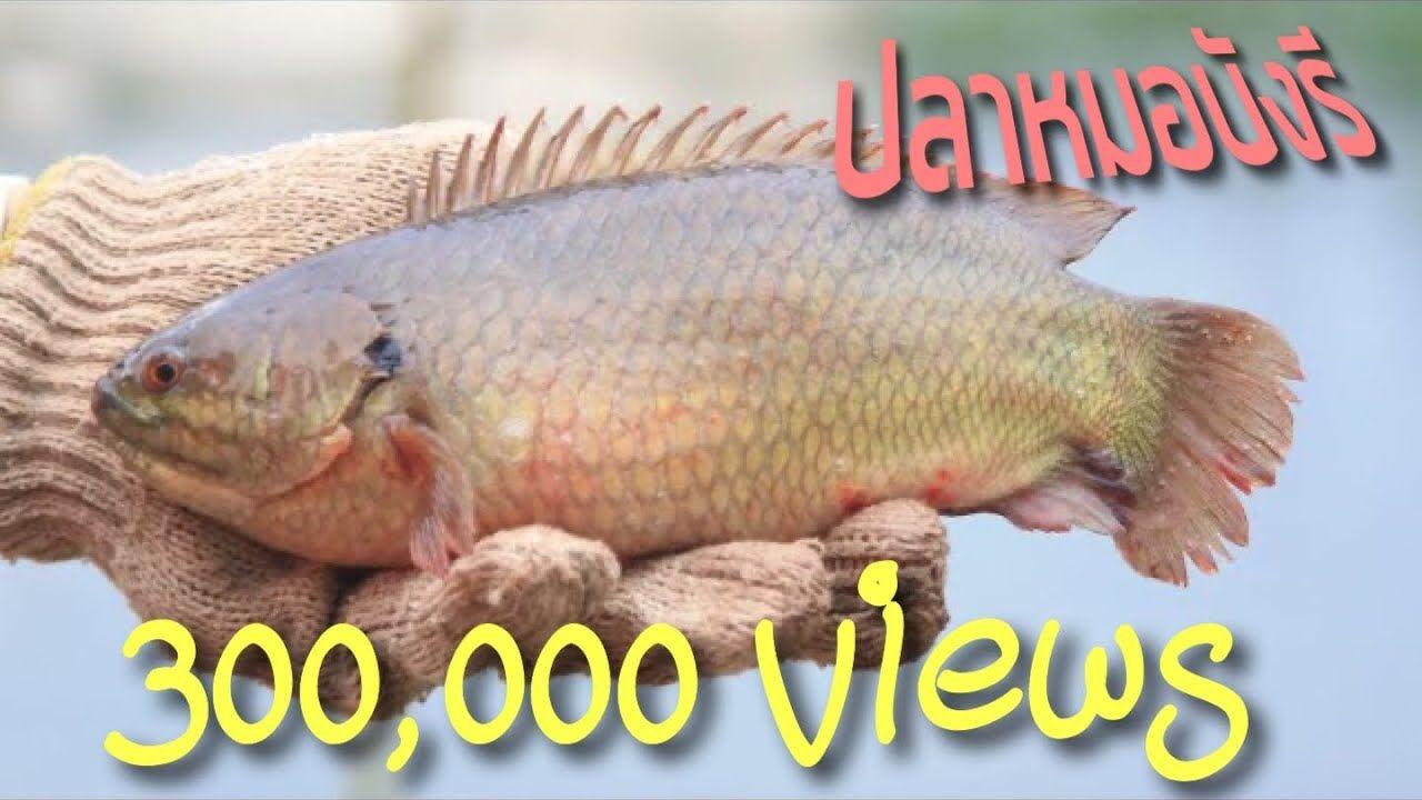 ปลาหมอพ นธ ย กษ เล ยงง าย โตไว กำไร100 Youtube กบ