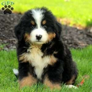 Bernese Mountain Dog Puppies For Sale Sophie Dogs Mountain Dogs