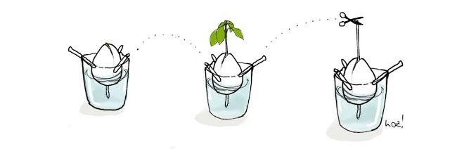 eine avocadopflanze aus einem kern ziehen garden pinterest basteln spiele und gl ck. Black Bedroom Furniture Sets. Home Design Ideas