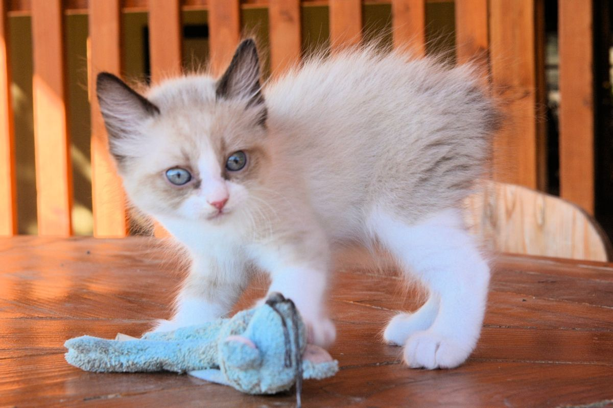 Related image Manx kittens, Manx kittens for sale
