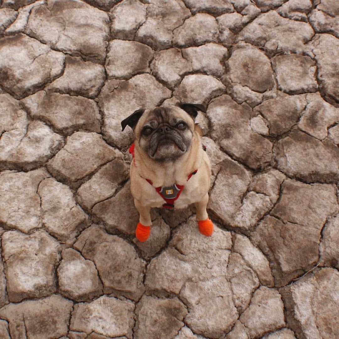 Mack The Adventure Pug Human On Instagram Based On The