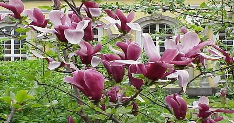 Foto Bunga Kantil Merah Di 2020 Bunga Menanam Tanaman Semak