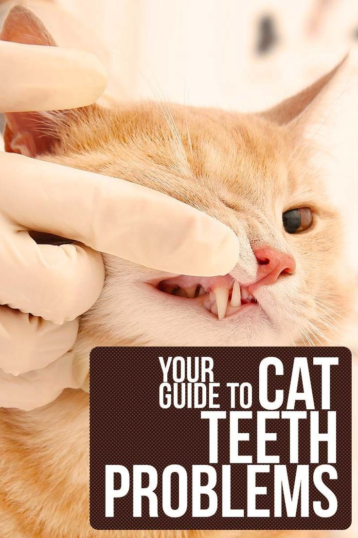 Your complete guide to cat teeth problems Cat health and