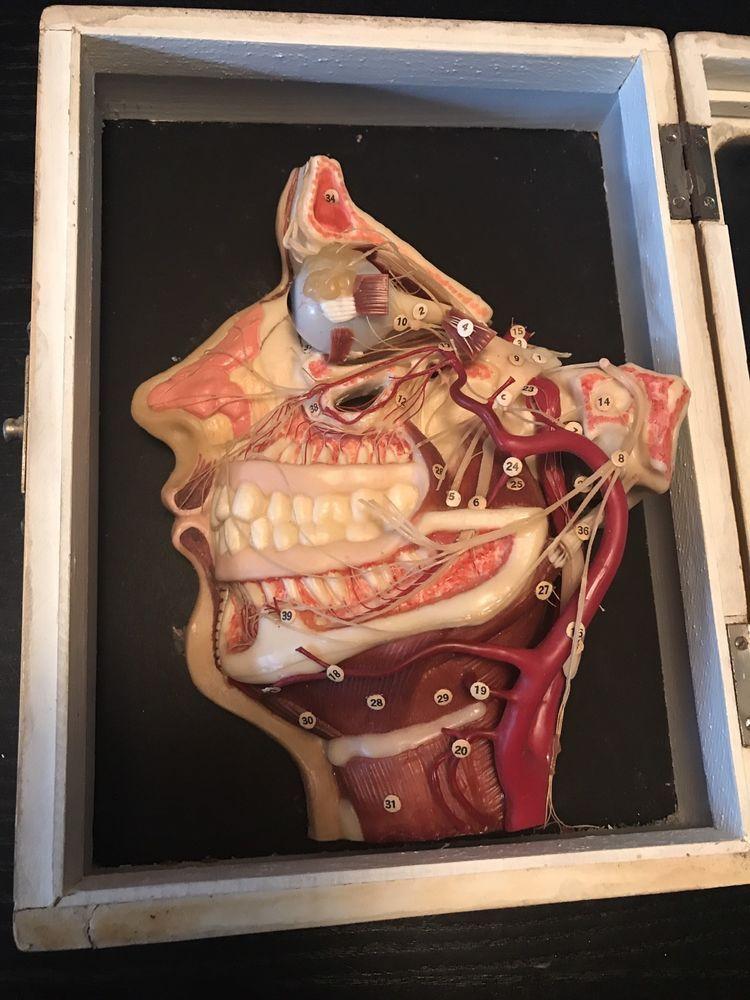 Antique Medical Vintage Wax Anatomy Model Face German Moulage - RARE ...