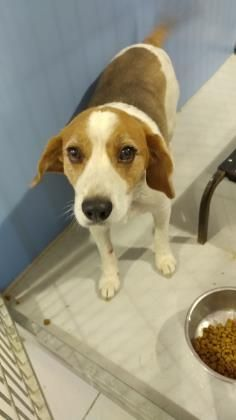 Animal Id 35758262 Species Dog Breed Beagle Mix Age 6 Years 7 Days