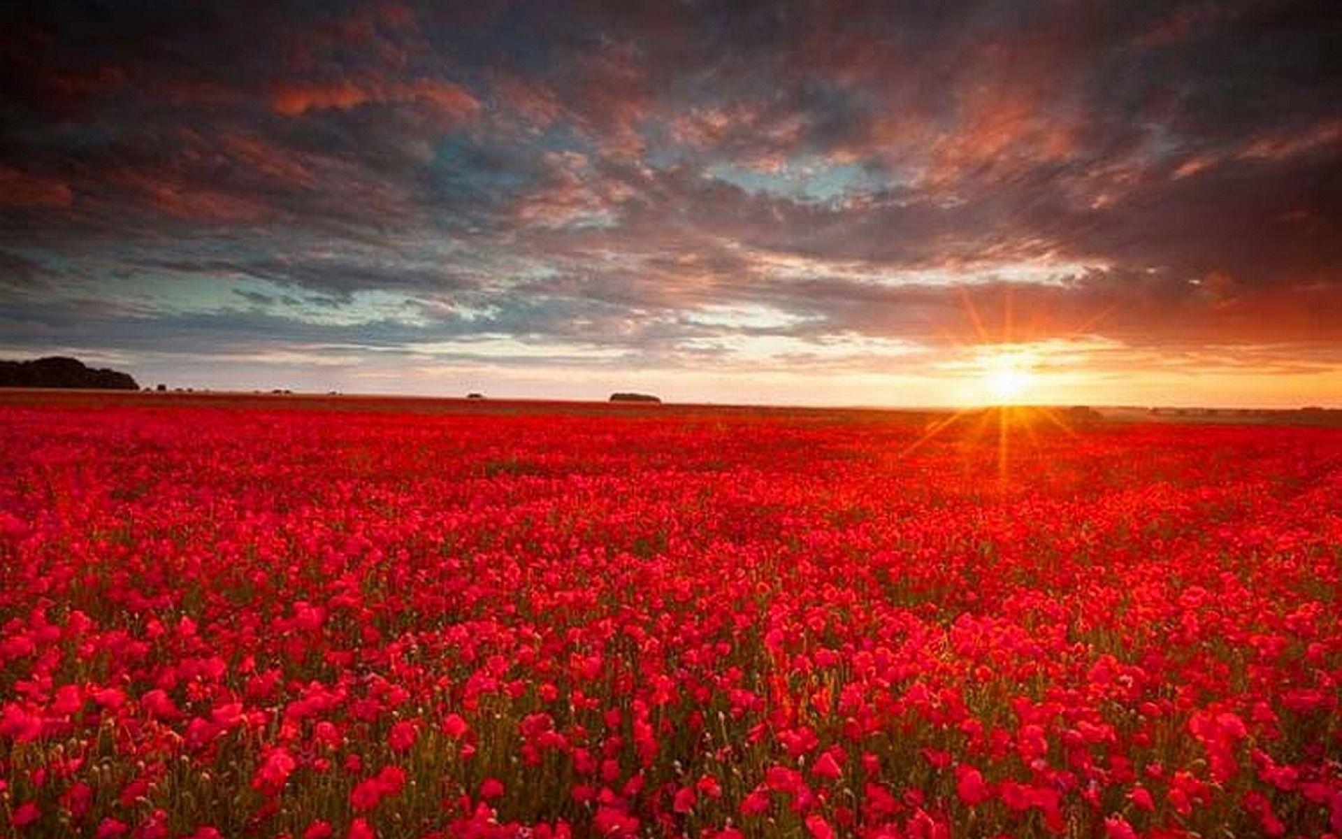 поле из красных роз картинки