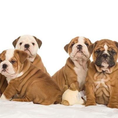 Baggy Bulldogs Bulldog English Bulldog Puppies Bulldog Puppies