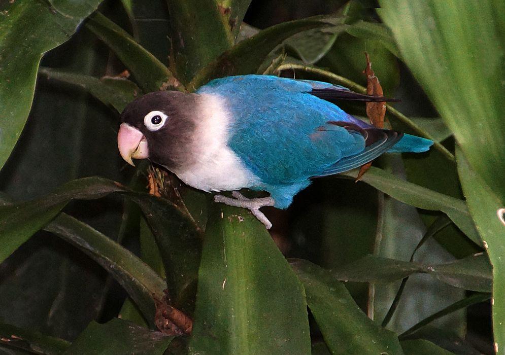 Masked Love Bird In Cobalt Blue From Colombia Pet Birds Birds Cute Baby Animals