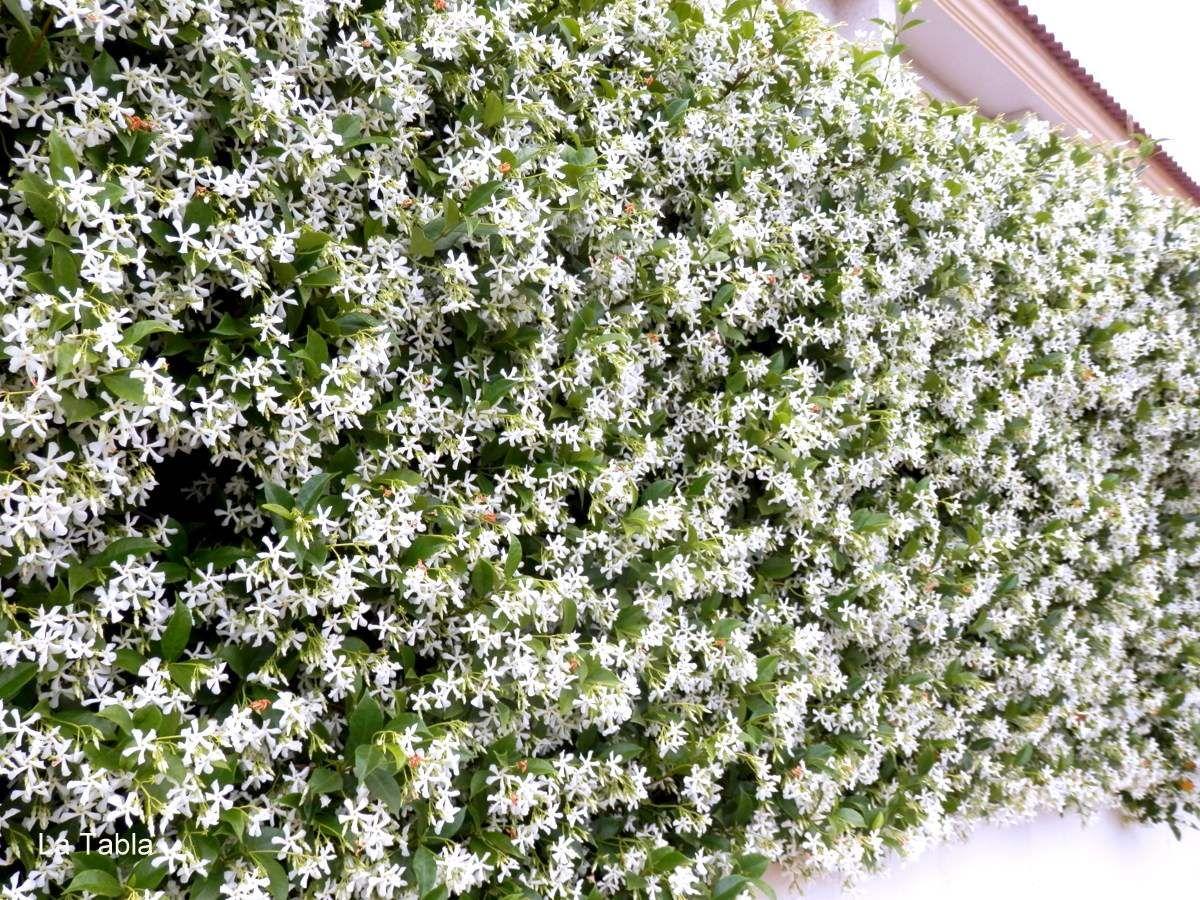 Jazmin estrellado trachelospermum jasminoides jardines for Planta perenne en maceta de invierno