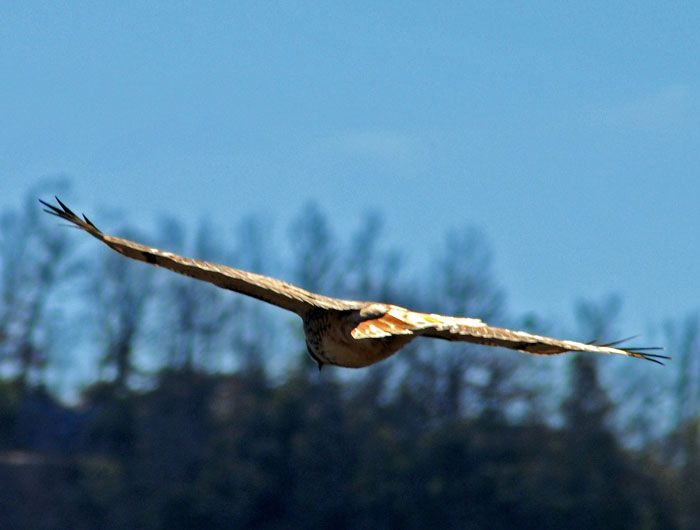 Hawk on a solitary hunt