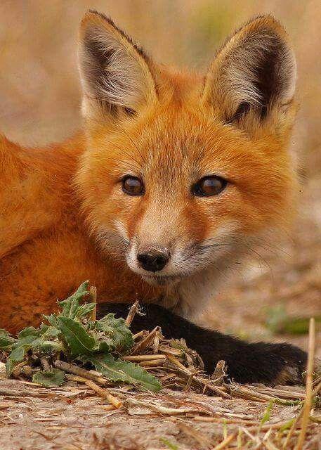 Such a cool critter renards pinterest renard renard - Renard mignon ...