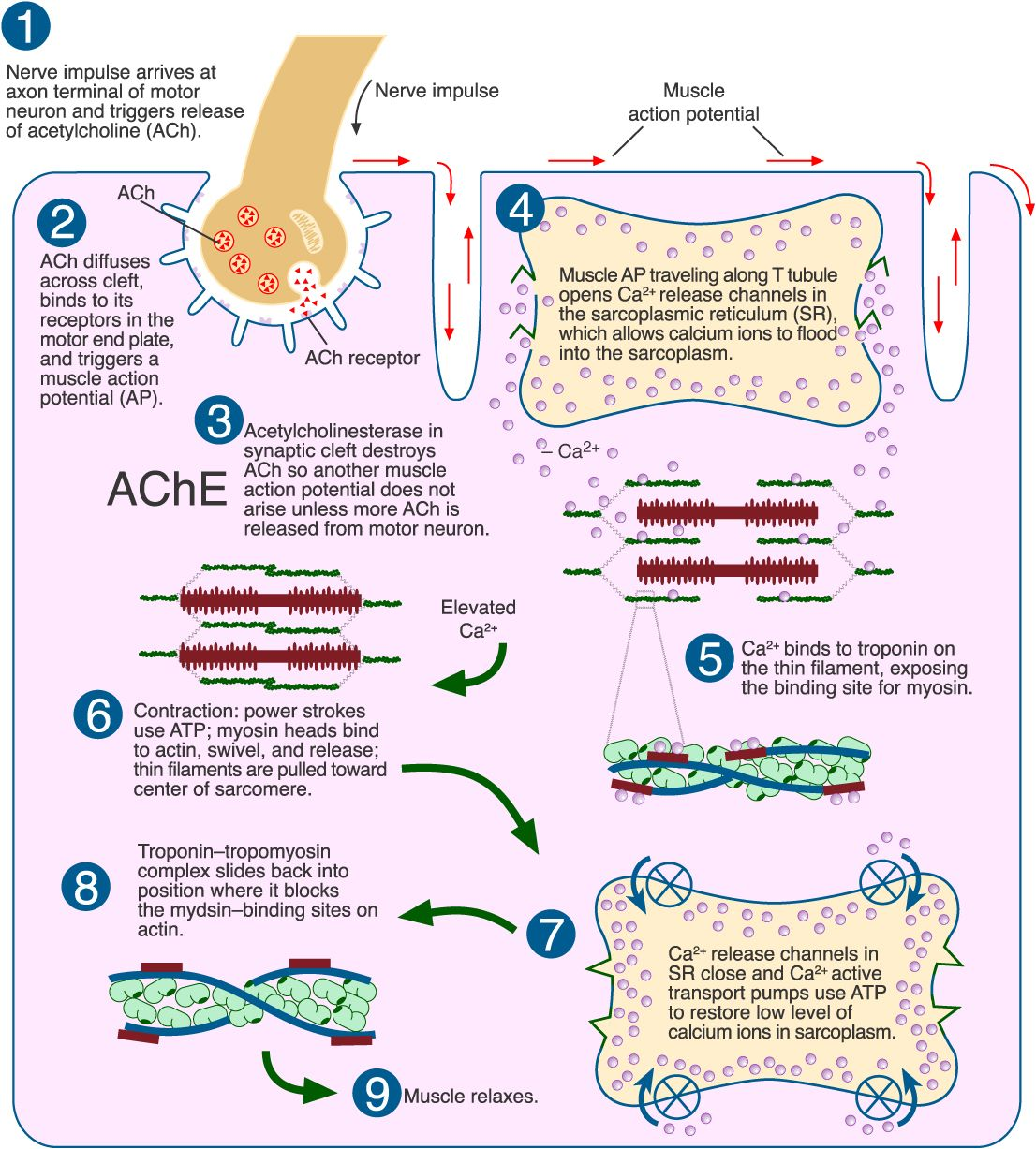 Sliding Filament Theory - Biology 160: Human Anatomy & Physiology ...