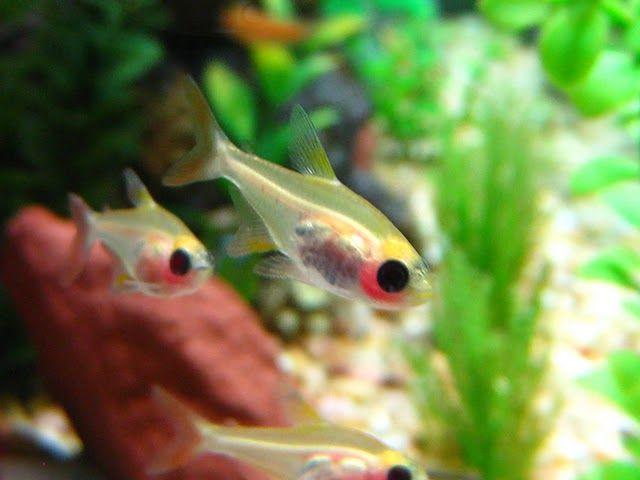 Albino X Ray Tetras Pristella Maxilllaris Tetra Fish Betta Aquarium Freshwater Aquarium Fish