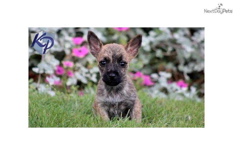Boerboel Puppy For Sale In Mount Joy Pa Adn 71305 On Puppyfinder Com Gender Male Age 8 Weeks Old Puppies For Sale Mount Joy Puppies