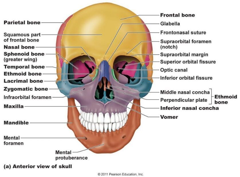 Anterior View Of Skull Anatomy Note World Pinterest Anatomy