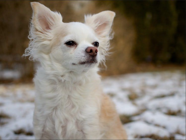 The Cutest LongHaired Chihuahua Pictures Stricken