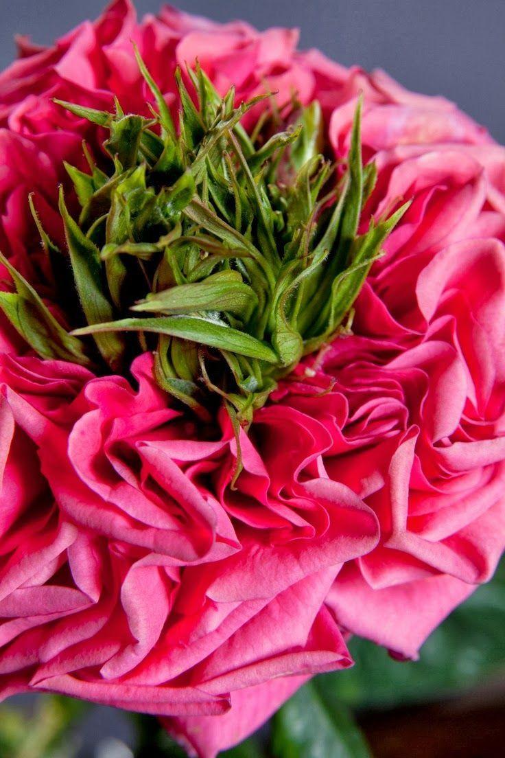 The new Rive Gauche Beautiful Rose ou renoncule..?