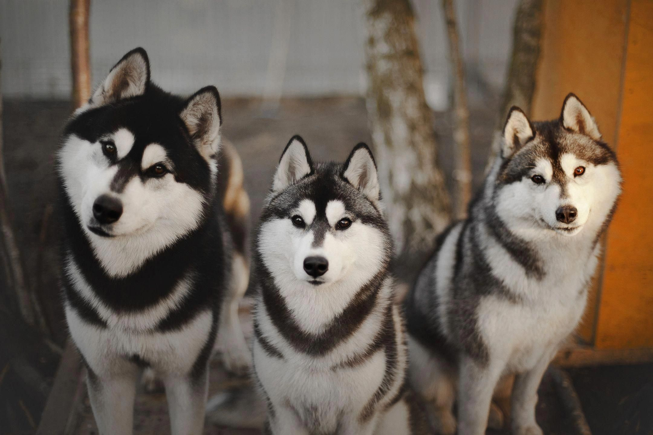 More About Athletic Siberian Huskies Puppies Temperament