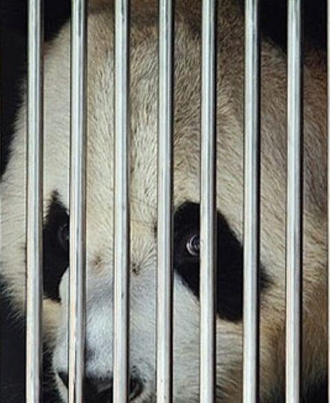 ABAIXO-ASSINADO - Recuse os pandas do governo chinês. Urso não é objeto para ser presenteado! Pressionando o prefeito do Rio de Janeiro, Eduardo Paes - ASSINE: https://www.change.org/p/recuse-o-panda-do-governo-chin%C3%AAs-urso-n%C3%A3o-%C3%A9-objeto-para-ser-presenteado-eduardopaes-prefeitura-rio/share?after_sign_exp=default&just_signed=true