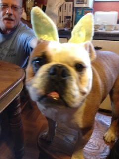 Farnesworth The Easter Dog Take Two 2012 Easter Dog Valley Bulldog Dogs