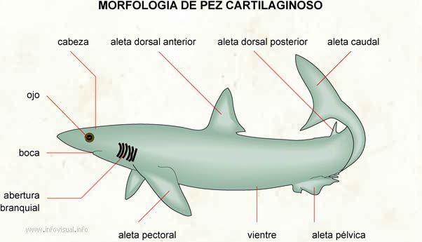 Morfología de un pez cartilaginoso ( tiburón) | Chondrichthyes ...