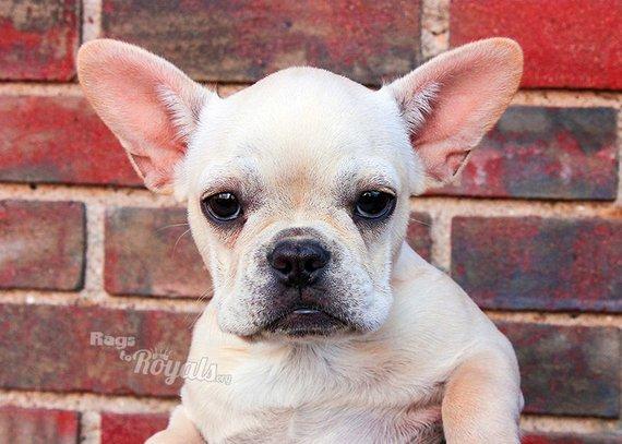 I M All Ears Photo Frenchie Puppy Photo French Bulldog Portrait