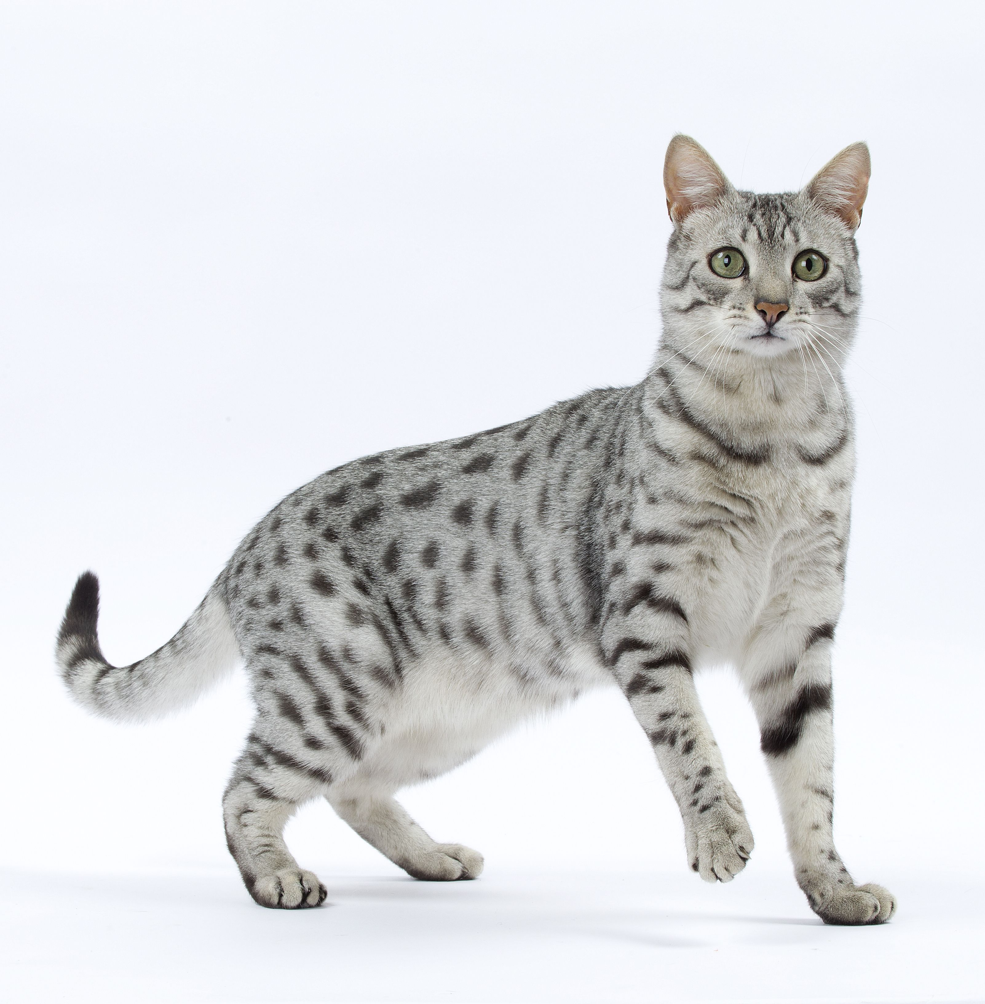 Le #Chat Mau Egyptien | Egyptian Mau Cat | Pinterest | Egyptian ...