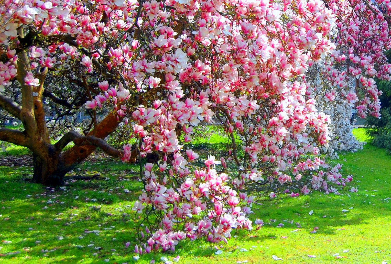 Magnolia tree pink flowering blossoms picture gallery a vszakok magnolia tree pink flowering blossoms picture gallery mightylinksfo