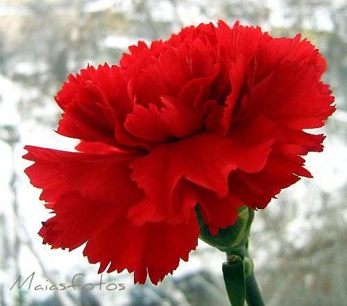 Oeillet Rouge Belas Flores Flores Fotos Flores Vermelhas