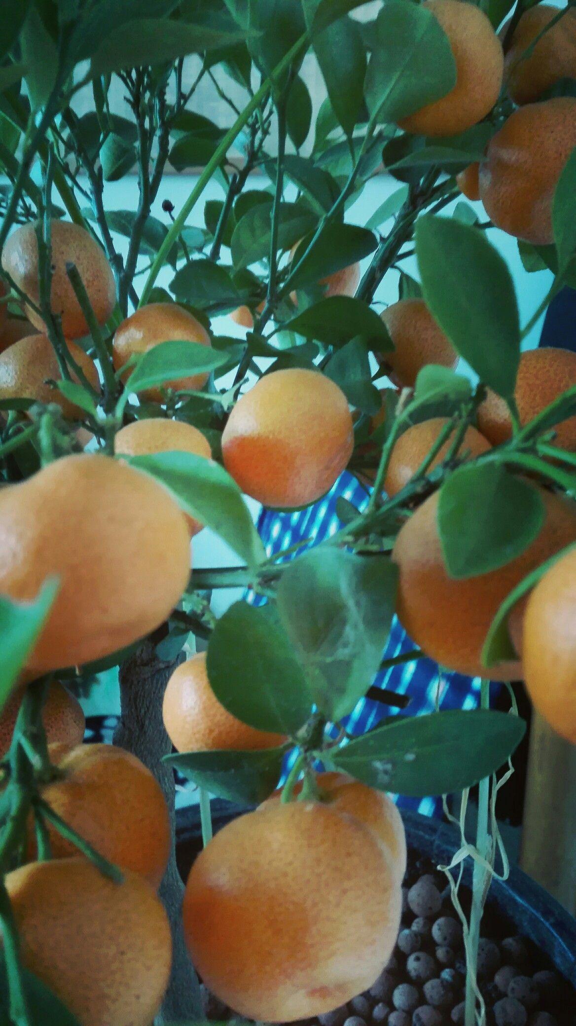 Calamondin/ Citrus Mitris, sinaasappelboompje; maart '17