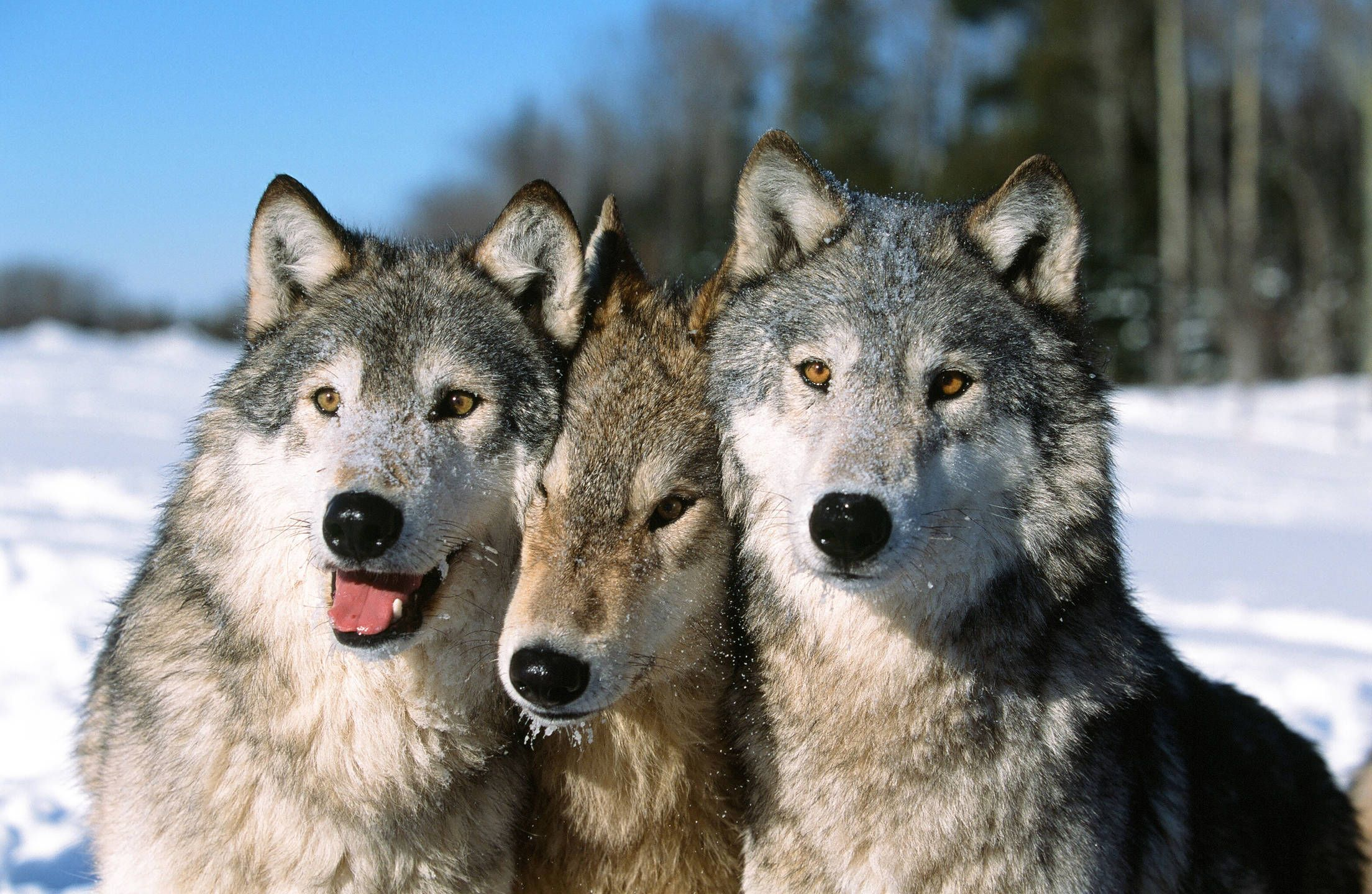 Family Bond The pack consists of the alpha male and
