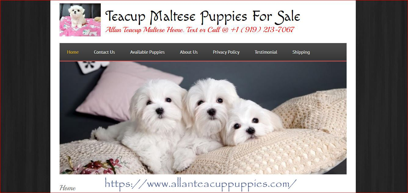 Maltese For Sale Near Me In 2020 Teacup Puppies Maltese Maltese Puppy Maltese Puppies For Sale