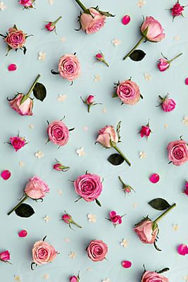 Rose background on blue by Ruth Black for Stocksy United
