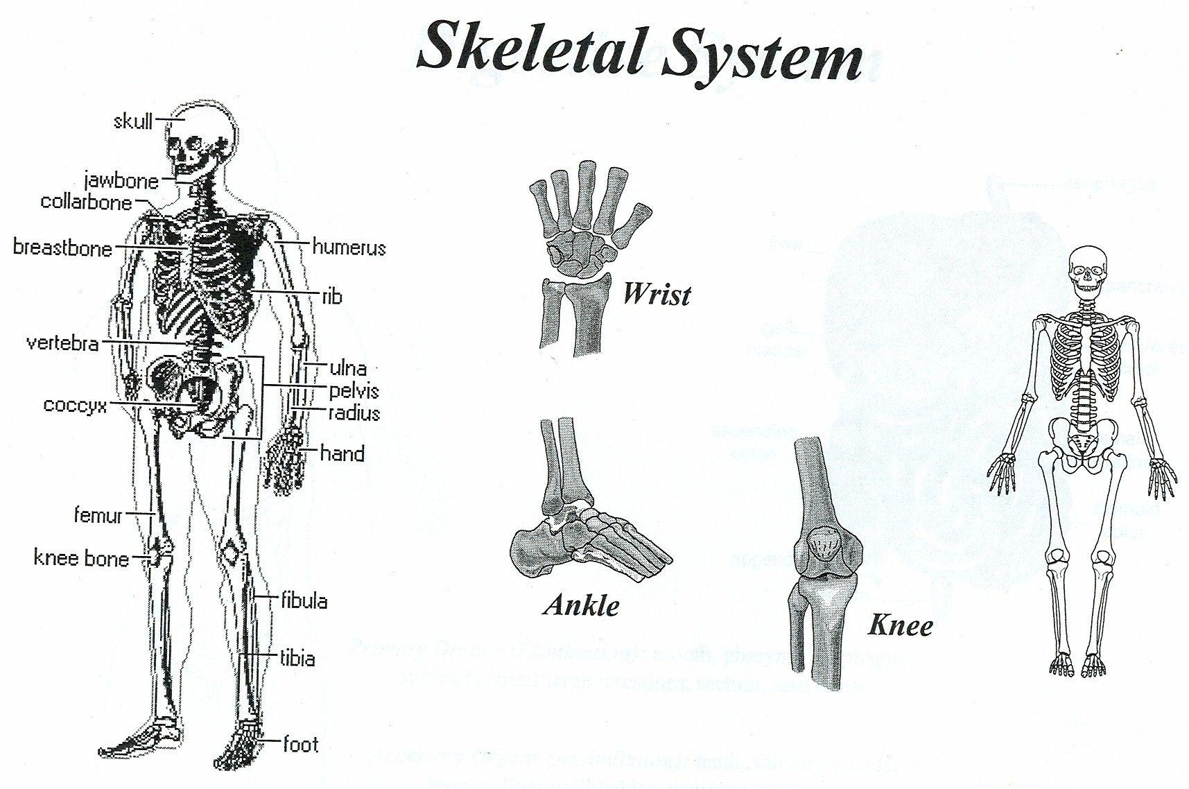 skeletal system | positive healthcare | positive healthcare, Muscles