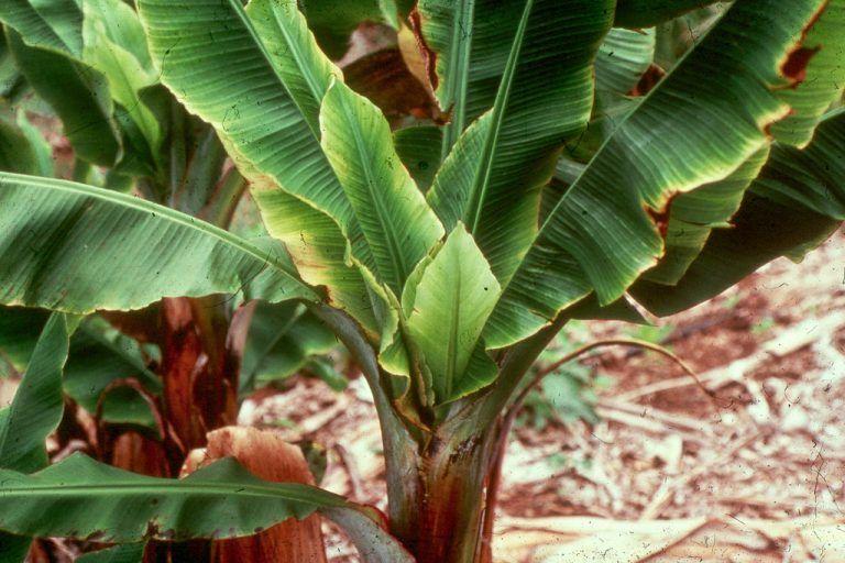 Dwarf banana tree growing banana plants as ornamentals