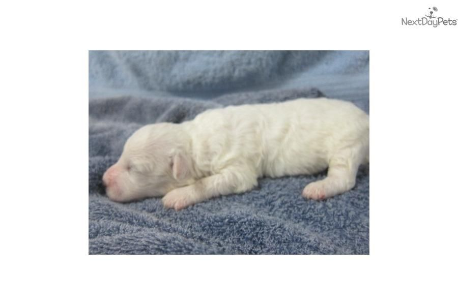 Meet Female A Cute Bichon Frise Puppy For Sale For 600 Mum S New