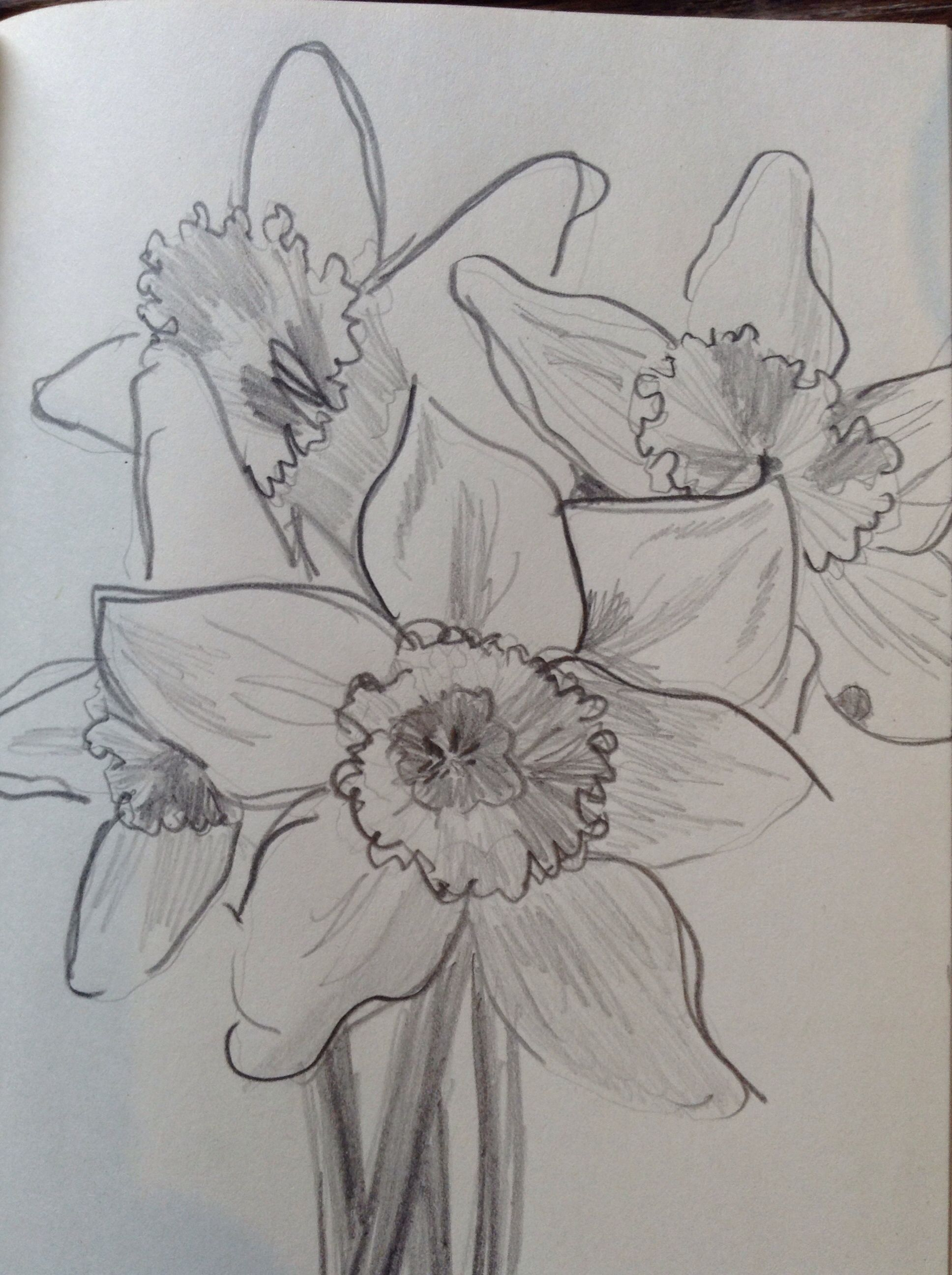 pencil sketch of daffodils a plus watercolor pinterest