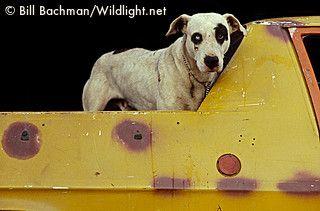 Bill Bachman's dog in a ute